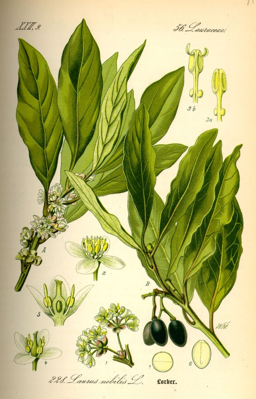 l'arbre d'Apollon, le laurier noble ou de son nom vulgaire le laurier sauce